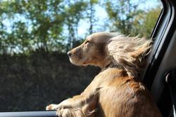 Dog on car window.