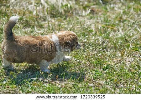 Dog on green meadow. Beagle puppy walking Stock photo ©