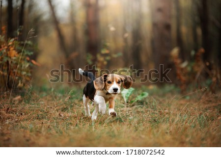 dog on nature in the park.beagle puppy. Pet for a walk Zdjęcia stock ©