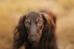 dog on nature in the park. Chocolate Dachshund puppy. Pet for a walk