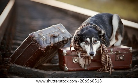 Dog on rails with suitcases. The dog looks for the house. The dog waits for the owner. The lost dog. Mongrel on the road. Dog on rails. Dog with suitcases. Traveler. Vagrant dog. Tramp.