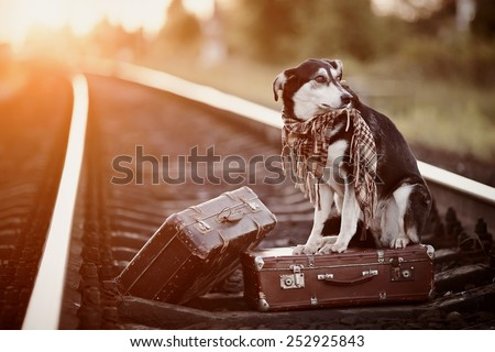 Dog on rails with suitcases. The dog looks for the house. The dog waits for the owner. The lost dog. Mongrel on the road. Dog on rails. Dog with suitcases. Not purebred dog on the road. Traveler.
