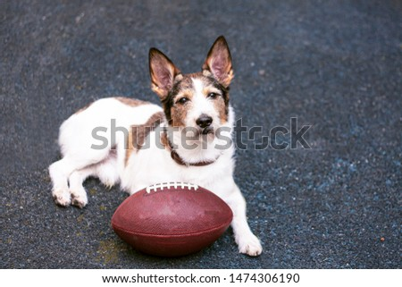 Dog on sports pavement, near rugby ball, American football Wilson, NFL football team. Jack Russell Terrier. Copy-space #1474306190