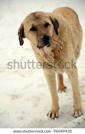 dog on street (snow) in winter - stock photo