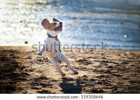 dog on the beach. Beagle. Sand, water