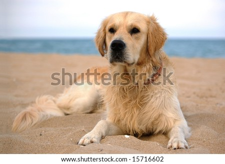 dog on the beach - golden retriever, a full-length portrait