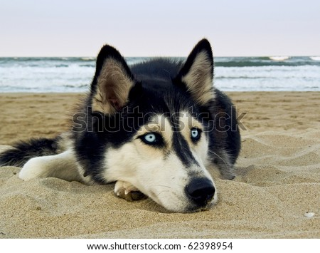 dog on the beach   siberian...