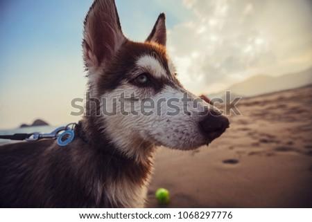 dog on the beach   siberian...