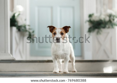 dog on the porch. Little Jack Russell Terrier Outside the House #769680388