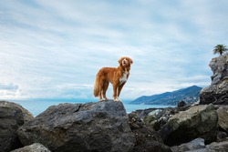 dog on the sea. Nova Scotia Duck Tolling Retriever on a stone and looks at the water. Italy, promenade, beach