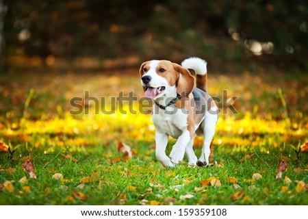 dog on the street. Autumn, the beagle, flowers