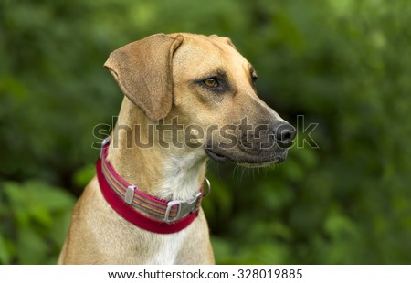 Dog Outdoor is a portrait of an attractive big dog with vibrant brown eyes in the beautiful outdoors.