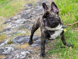 Dog outdoor portrait , cute Brindle French bulldog puppy(male) in the park , closeup