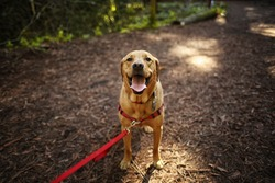 Dog Outdoors Hiking in Woods Mixed Breed Labrador Rescue Puppy on a Sunny Day in the Park