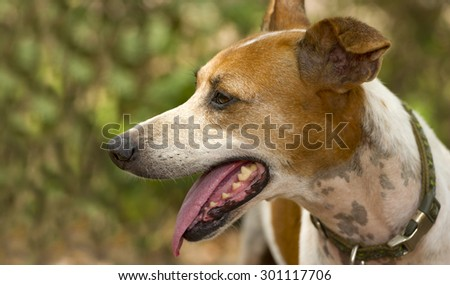 Dog outdoors is happy panting and alert and happy to be running around and exercising in the outdoors.