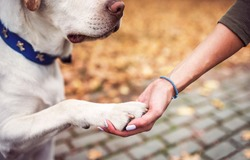 Dog owner holds a paw in a hand. Friendship between human and dog. Pets and animals concept