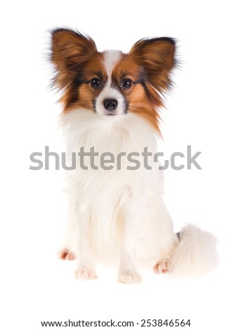 Dog Papillon on a white background