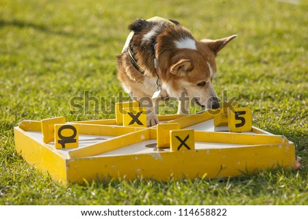 dog participating in scent hurdle racing