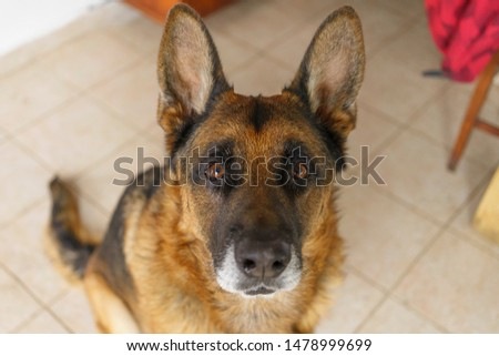 dog pet german shephered canine  eyes #1478999699