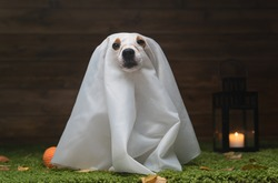 Dog Pet Jack Russell Terrier Dressed In Costume For The Scary Demon Festival Halloween Autumn October