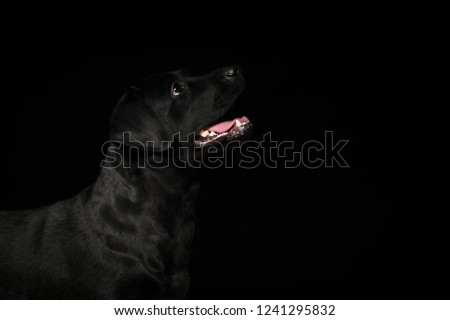 Dog. Photo Studio, black lab on a black background. Black on black