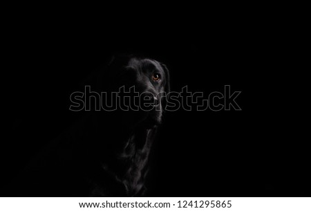 Dog. Photo Studio, black lab on a black background. Black on black #1241295865