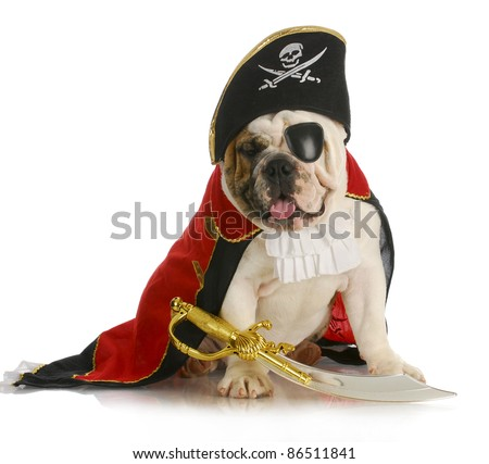 dog pirate - english bulldog dressed up like a pirate on white background