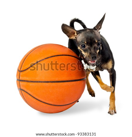 Dog playing ball - Toy terrier dog, 18 months old, with basketball on white background