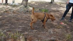 Dog playing in dog park scruffy puppy