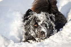 Dog playing in snow. Funny Dog put his face in the snow. Curious young black dog exploring and having a fun in snow. Happy Mixed breed dog enjoy in winter.