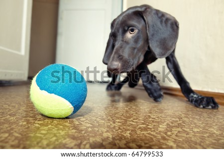 Dog playing indoors with colorful tennis ball. Focus to the ball