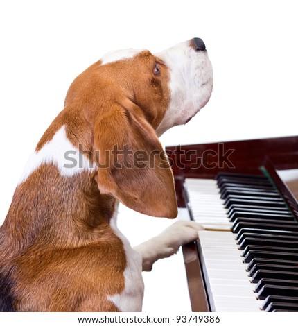 Dog playing the piano,white background. - stock photo