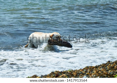 Dog playing with a stick by the sea. A dog brings a stick thrown into the sea. #1417913564