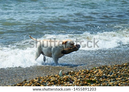 Dog playing with a stick by the sea. A dog brings a stick thrown into the sea. #1455891203