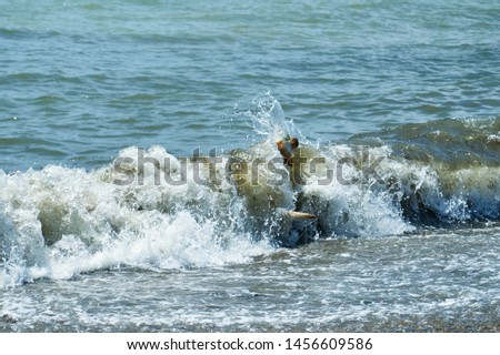 Dog playing with a stick by the sea. A dog brings a stick thrown into the sea. #1456609586