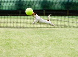 Dog playing with big tennis ball at hard green court