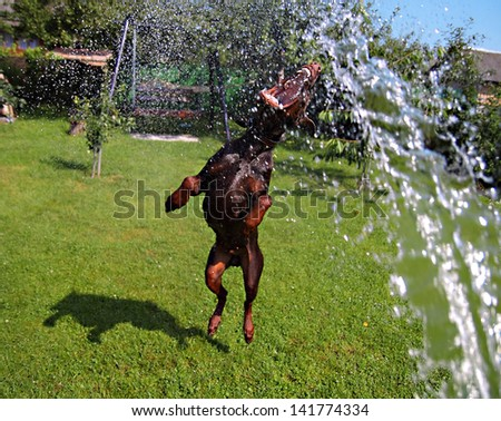 dog plays with water on  lawn