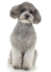 Dog poodle A