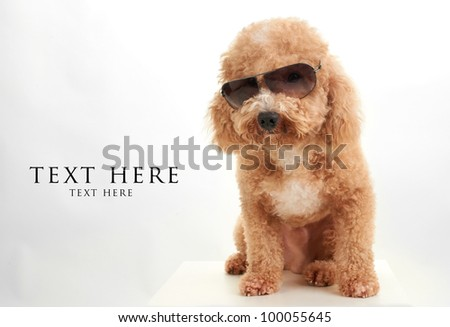 dog Poodle in dark sun glasses