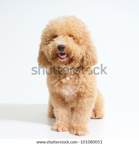 dog Poodle on White Background