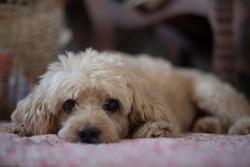 Dog Poodle sleep