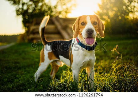 Dog portrait back lit background. Beagle with tongue out in grass during sunset in fields countryside.