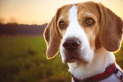 Dog portrait backlit background. Beagle dog headshoot agains sunset in fields countryside.