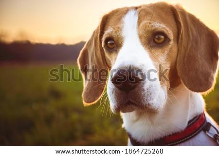 Dog portrait backlit background. Beagle dog headshoot agains sunset in fields countryside. Zdjęcia stock ©
