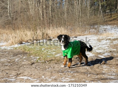 Dog portrait close up on sunny day, dog in shadows on sunny day, Bernese Mountain dog on winter time, Berner Sennenhund, large dog from Swiss Alps
