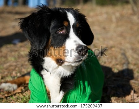 Dog portrait close up on sunny day, dog in shadows on sunny day, cropped photo, Bernese Mountain dog on winter time, Berner Sennenhund, large dog from Swiss Alps