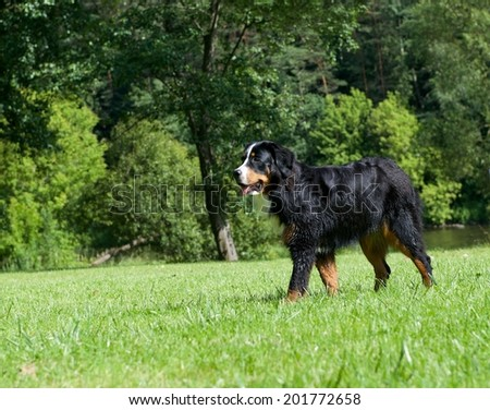 Dog portrait close up on sunny day, dog in shadows on sunny day, cropped photo, Bernese Mountain dog, Berner Sennenhund- kind of dogs, large dog from Swiss Alps in poor light
