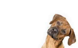 Dog portrait for copy space and banner use. The dog breed is Rhodesian dog. The dog is tilting it's head funny.