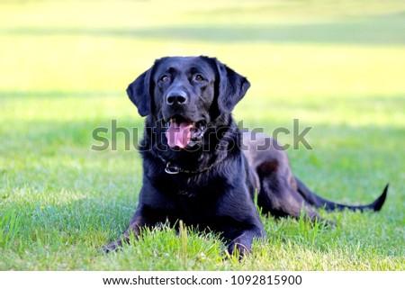 Dog portrait in grass (retriever) #1092815900