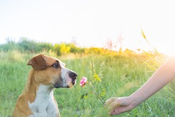 Dog portrait, looking at a rose in hand. Human gives a cute puppy to sniff a wild flower outdoors, owner and pet bond concept.